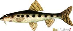Пескарь одна из самых мелких рыб, мельче его в наших водоемах лишь...